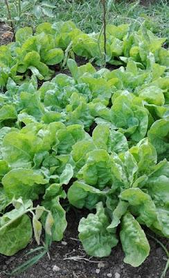 Cosa seminare a maggio: le lattughe primaverili.