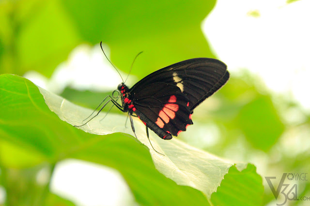 Emerald-patched cattleheart Butterfly