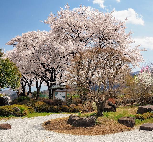萬休院 桜 日本庭園