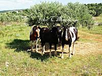 Simpatični konji, Mirca otok Brač slike