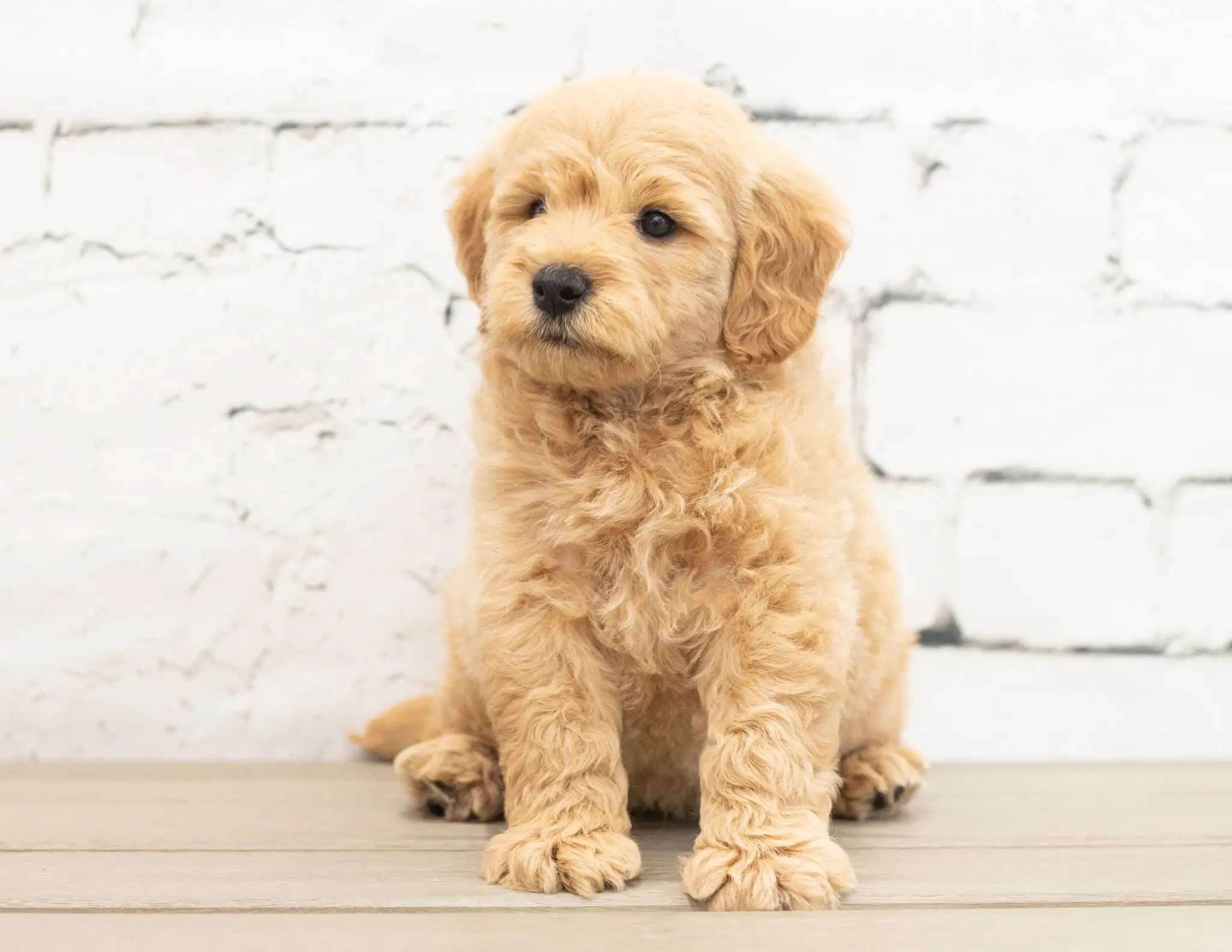 Labradoodle-Training-To-Sit