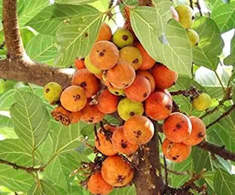 Why Gular Or Udumbara Tree Is Sacred In Hinduism?