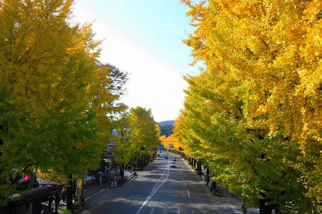 Hachioji Ginkgo Festival | November 17th & 18th, Hachiouji, Tokyo
