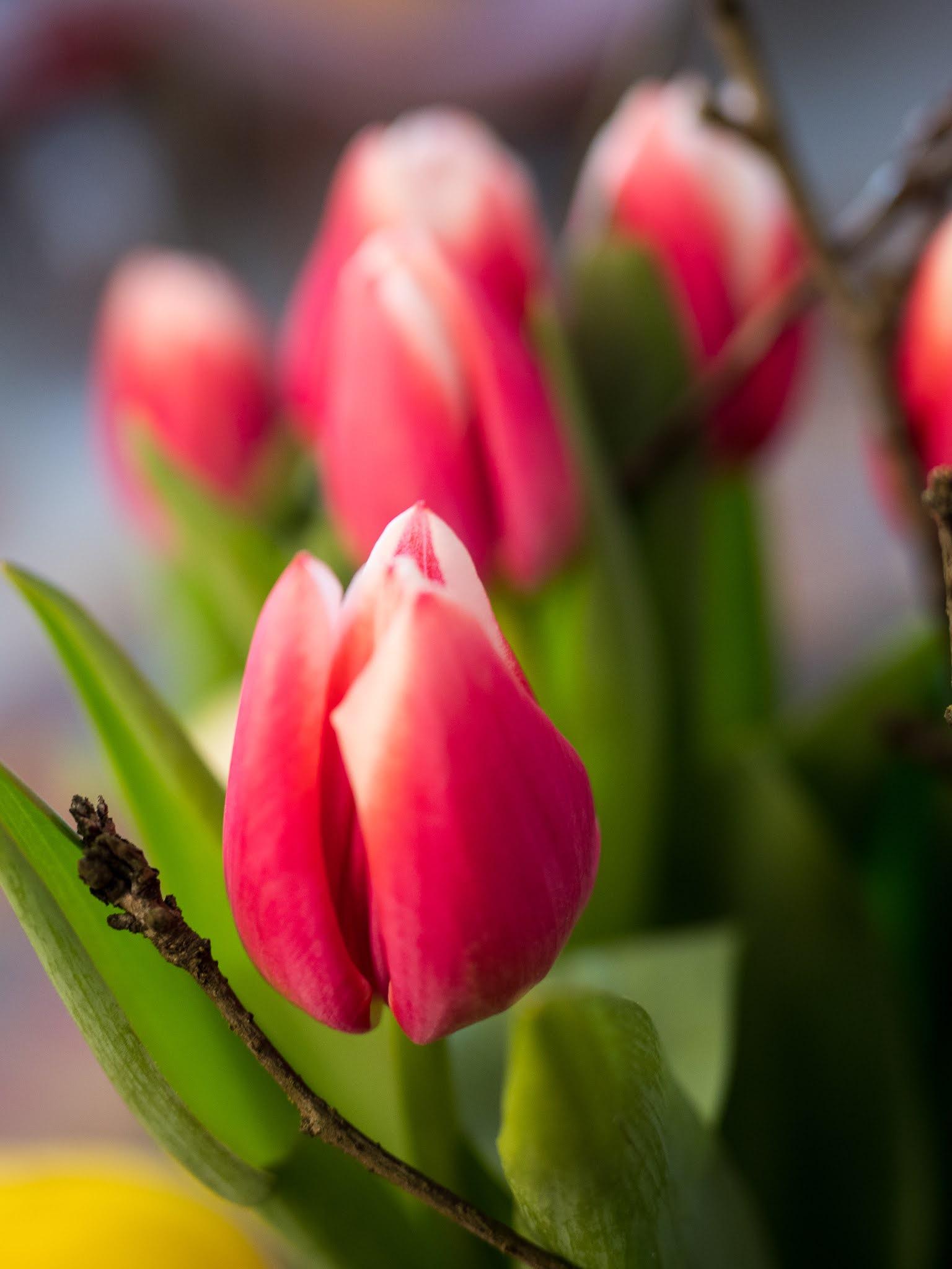 tulppaanien hoitaminen