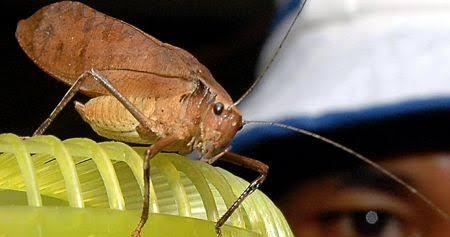 Belalang Rusa Serangga Unik Bersuara Merdu Tarahap
