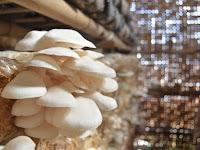 Yuk Simak, Inilah Cara Memulai Bisnis Jamur Tiram Putih di Rumah