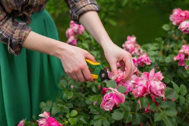 Como cuidar, fazer mudas e ter rosas sempre