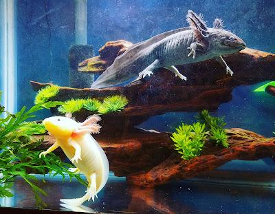 GFP leucistic axolotl and melanoid axolotl