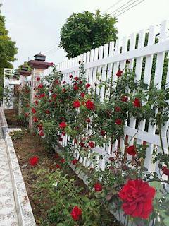 hình ảnh hoa hồng leo hải phòng