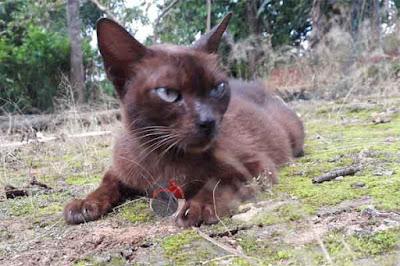 kucing kecubung