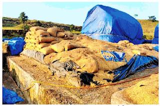 बारिश से बर्बाद हो गया ओपन कैप में रखा हजारों क्विंटल धान