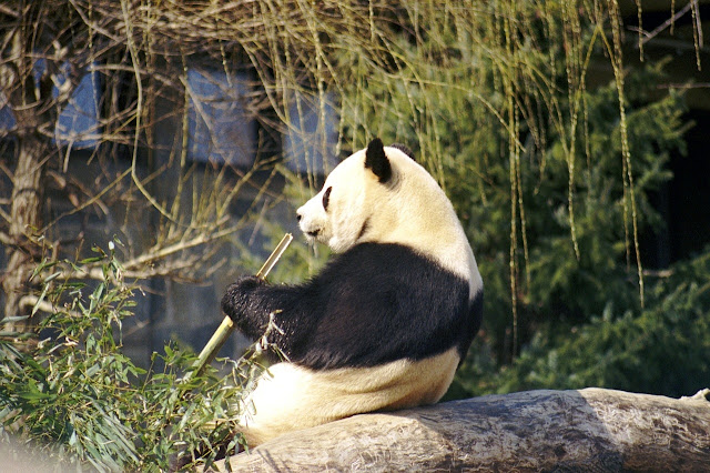 El panda gigante: el animal que sufre más peligro de extinción