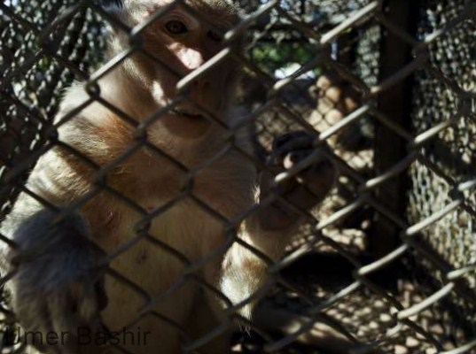 Thai vets are widely sterilized as tourists are terrorizing hungry monkeys in the city