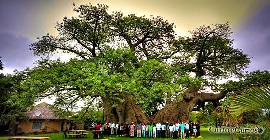 Baobá Gigante africano virou um Bar - a maior árvore do mundo virou um Bar