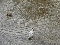 Northern pintail pair. Onda river, Naruse, Machida, Tokyo. © Denise Motard