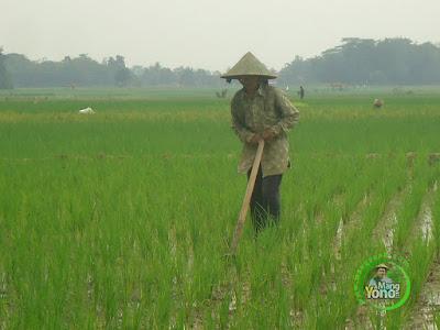 FOTO 1 : Tanaman Padi TRISAKTI 19 HST   Melakukan Penyiangan Rumput  dengan Gugurul