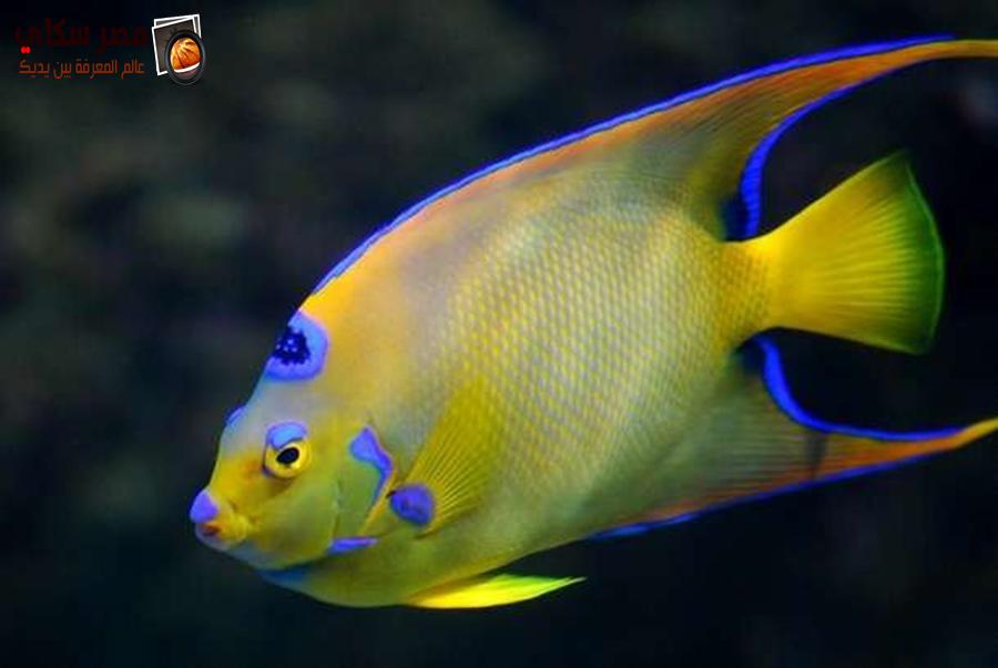 سمكة الأنجل petrophyllum ange وأنواعها