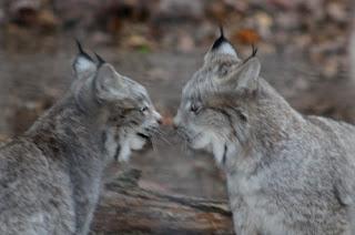 Lynx Twins.