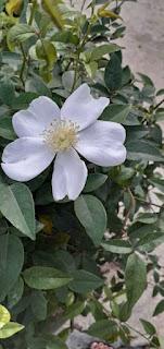 cây hoa hồng tầm xuân rừng