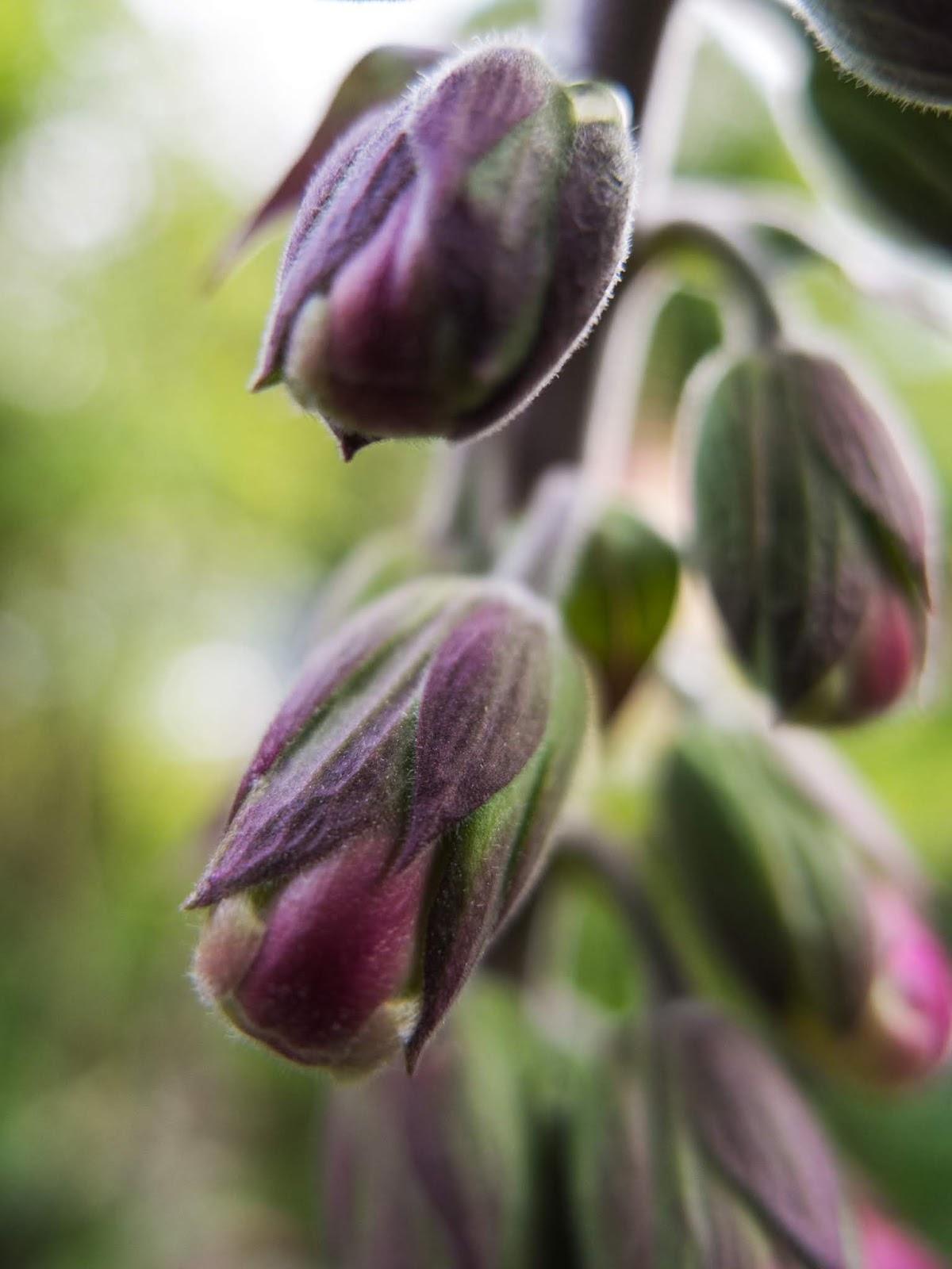 A macro of Foxglove flower buds on a stem.