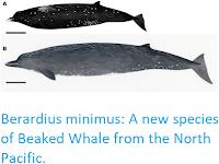 https://sciencythoughts.blogspot.com/2019/09/berardius-minimus-new-species-of-beaked.html