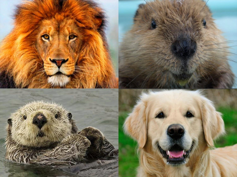 The Compatible Battle Lion Otter Golden Retriever Or Beaver