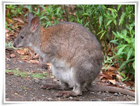 Pademelon Animal Pictures
