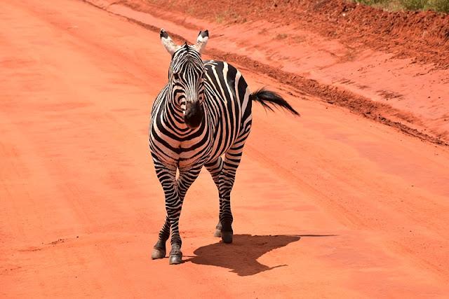 zebra w Kenii