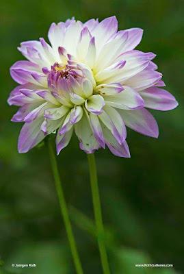 http://juergenroth.photoshelter.com/gallery-image/Flowers/G0000DCr8YHs9TZ4/I0000bW.SnmR_TCM