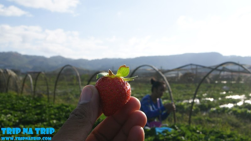 The Strawberry Capital of the Philippines - La Trinidad Strawberry Fields Benguet