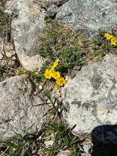 [Rosaceae] Potentilla reptans – Creeping Cinquefoil (Cinquefoglia comune).