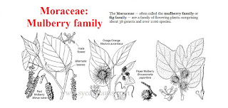 Moraceae: Mulberry Family