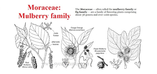 Moraceae: Mulberry Family Characters, Floral formula, Floral Diagram And Economic Importance