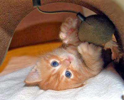 imagenes de gatitos bebes color anaranjado