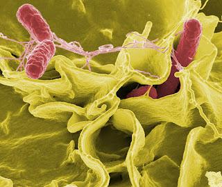cepas de Salmonella