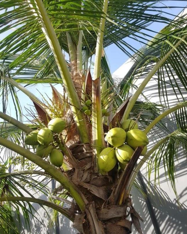 bibit kelapa hibrida super genjah Jawa Timur