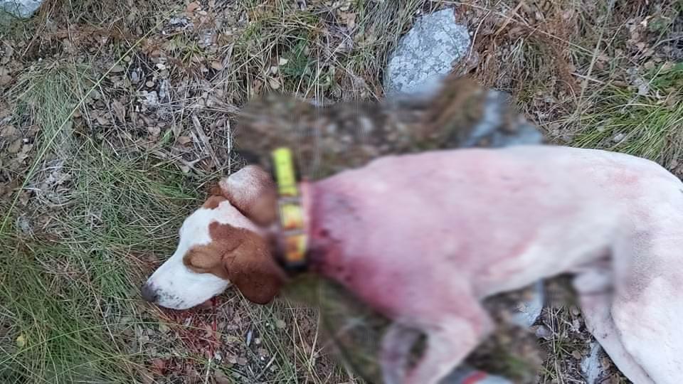 Ξάνθη: Λύκοι επιτέθηκαν σε κυνηγόσκυλο και το σκότωσαν