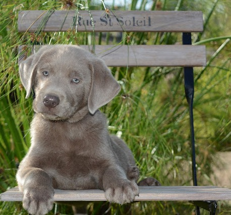 Top of the Hill Labs: Silver Lab Puppies Expected in June!