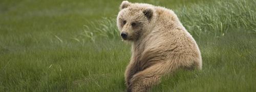 Gấu nâu và màu xanh