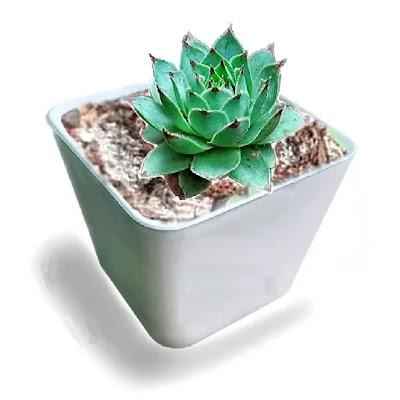 Echeveria Fire Dragon Succulent Plant with Pot | Best Succulent Plants Online in India | Best Desk Plants for Office