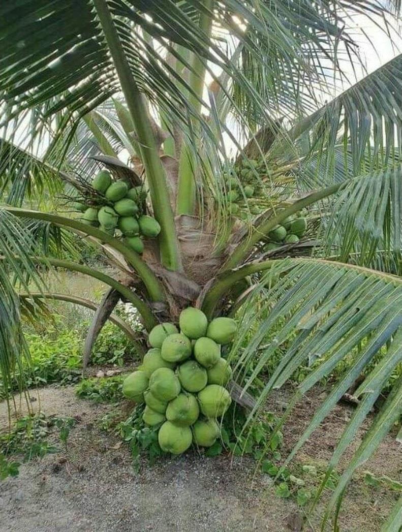 Bibit kelapa hibrida murah Jawa Tengah