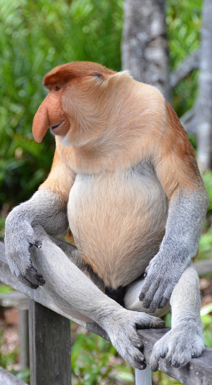 Picture of a proboscis monkey.