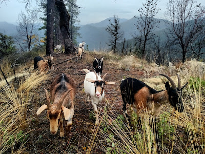 Goats on mountain ridge, Klamath California