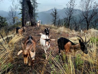 Goats on mountain ridge, Klamath California
