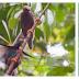 Kawasan Pengamatan Burung Bidadari - Wisata Halmahera Barat