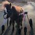 Ένα ανάπηρο άλογο μπορεί και τρέχει ξανά...