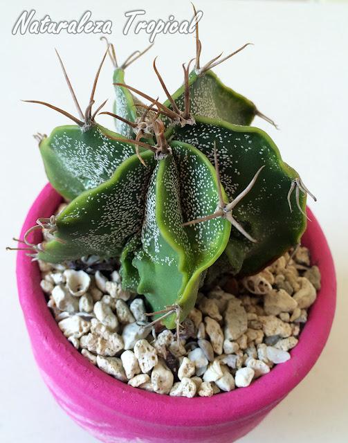 Otra variedad del Cactus Estropajo o Capricornio, Astrophytum capricorne