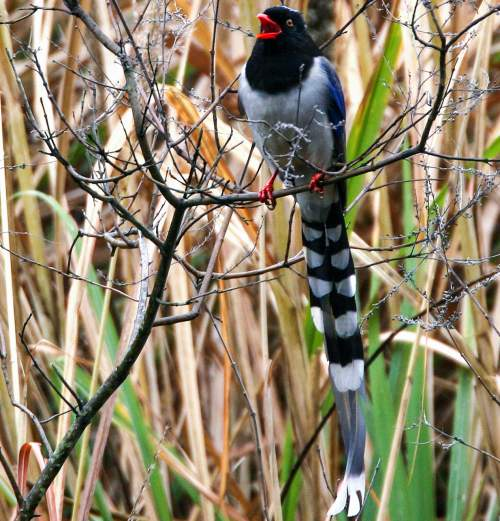 Birds of India - Image of Red-billed blue magpie - Urocissa erythroryncha
