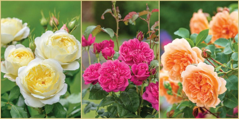 Nuevas rosas David Austin en Chelsea Flower Show 2017. English Rose Dame Judi Dench, Vanessa Bell and James L Austin