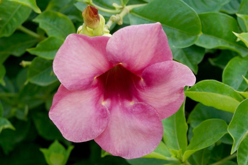 Tanaman Hias Bunga Alamanda (Bunga Terompet Emas)